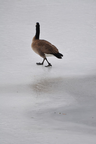 Canadian Goose on the icy Snake River, Idaho Falls, ID. 1.09