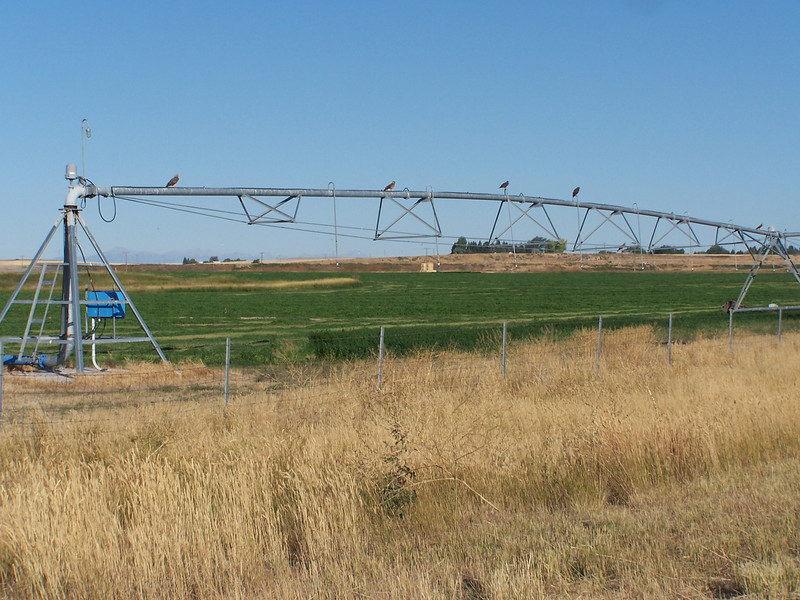 5 Hawks perched on sprinkler searching for prey in the farm fields.  North of Idaho Falls, ID. 9.08