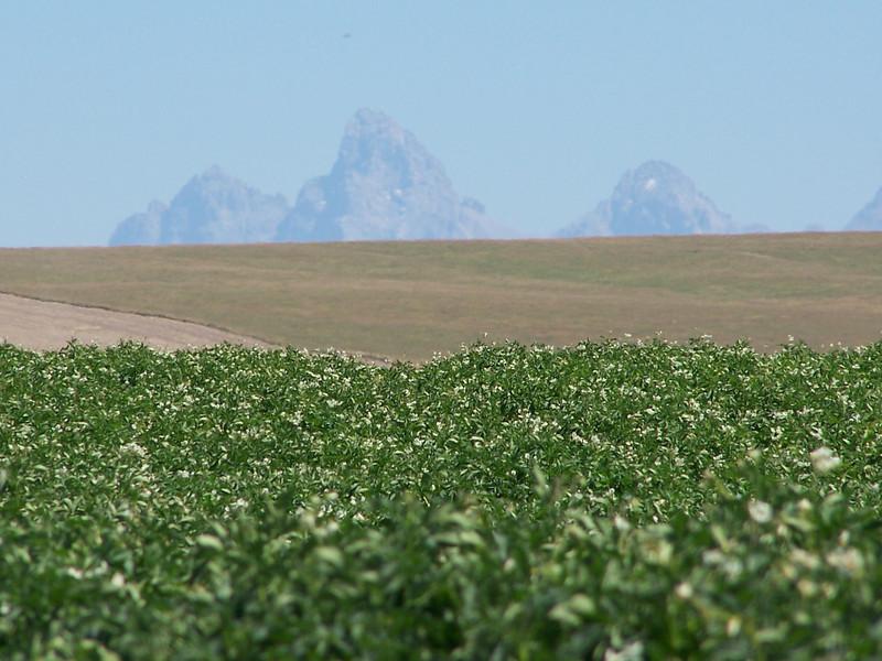 Idaho Potato field in bloom with Teton Mountain Range in the background. 8.08
