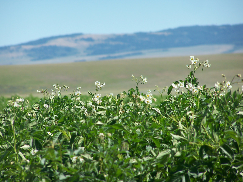 Idaho Potatoes in bloom, 8.08