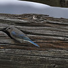BlueJay entering nest in a knot on pole in a corral. Pass Creek, Idaho. 6.11