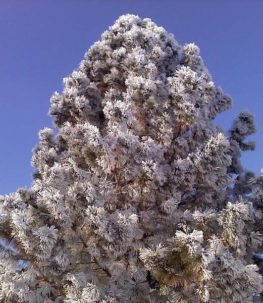 Hoarfrost on pine tree.  Idaho. 2.11
