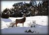Deer near Heise, Idaho. 2.11. edited.