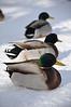 Birds of a feather....flock together.  Mallards on the Greenbelt. Idaho Falls, 1.11