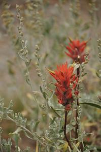 Indian Paintbrush. Iron Bog area near Arco, Idaho. 9.4.11
