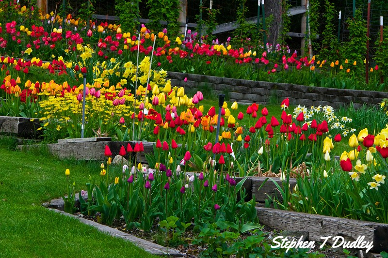 Mr Rickel's tulips