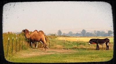 'It's a Camel, you Ass'. Yep, we're in Idaho.