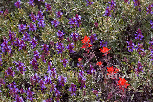 Purple sage and Indian paintbrush in the Owyhee Mountains near Murphy, Owyhee County in southwestern Idaho.