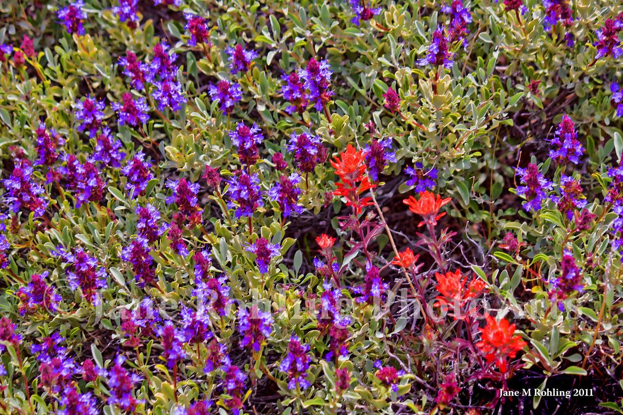 Purple sage and Indian paintbrush in the Owyhee Mountains near Murphy, Owyhee County in southwestern Idaho.