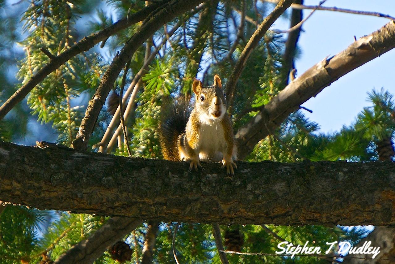 Squirrel, backyard
