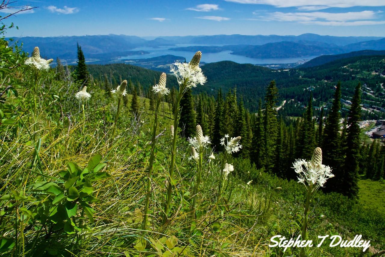 Bear grass, Schweitzer Mountain