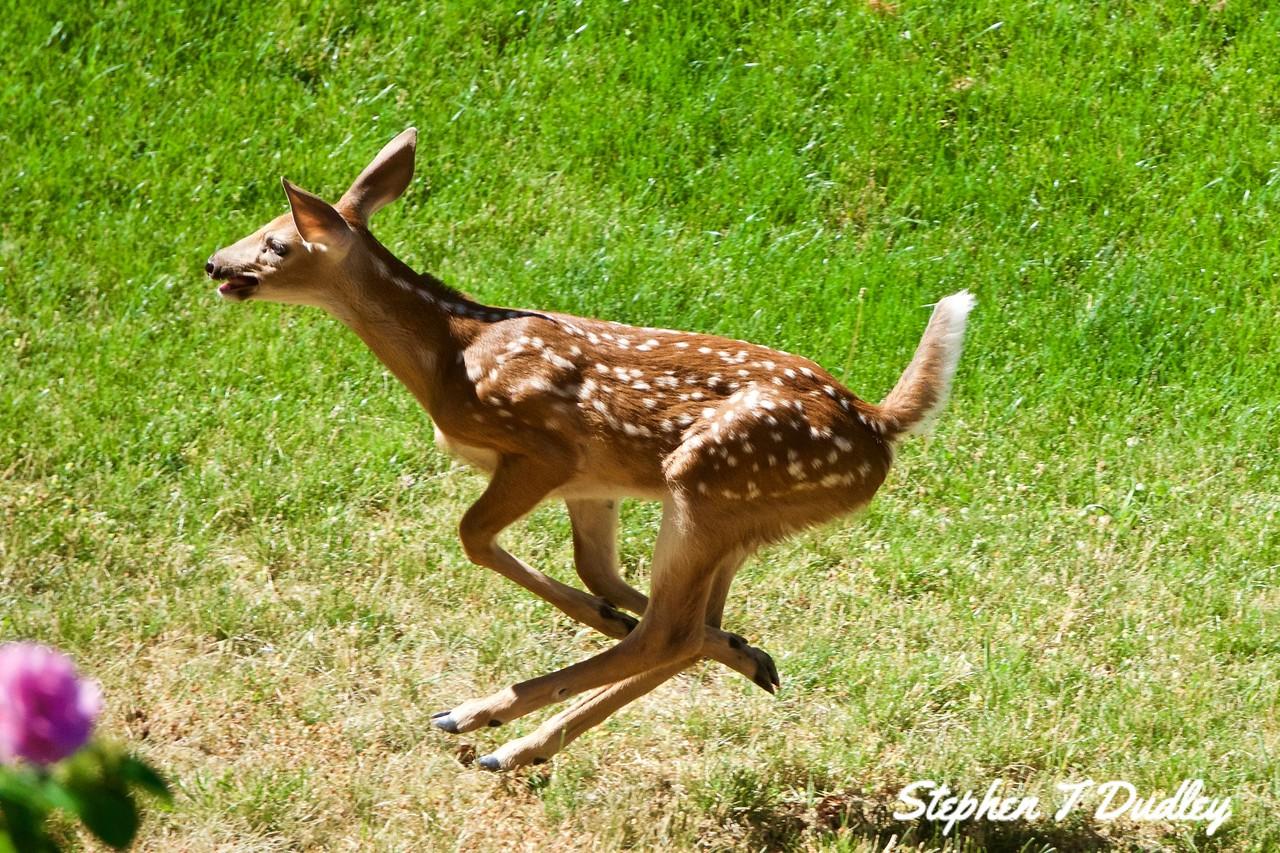 Racing fawn 2, backyard