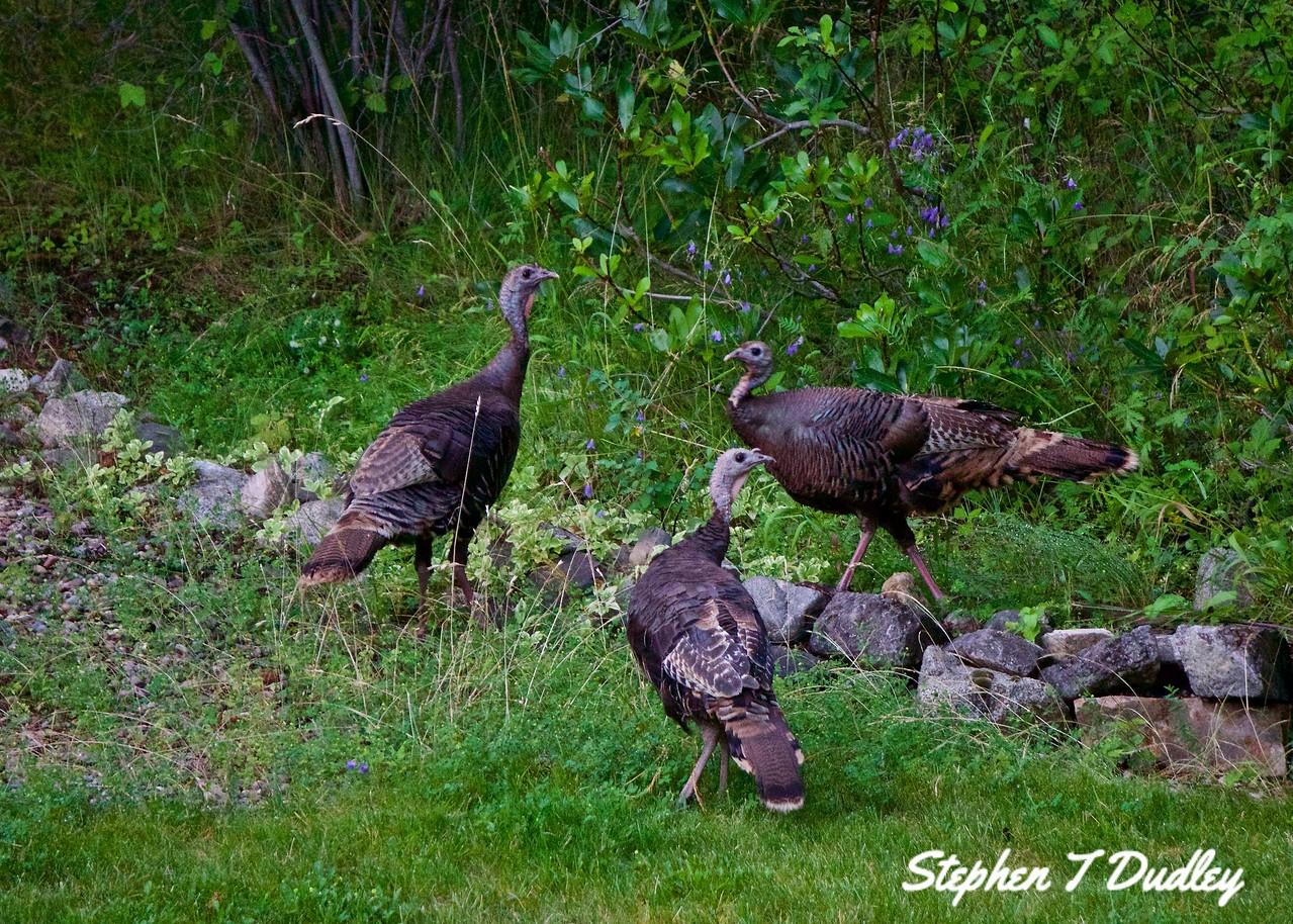 Backyard Turkeys 3