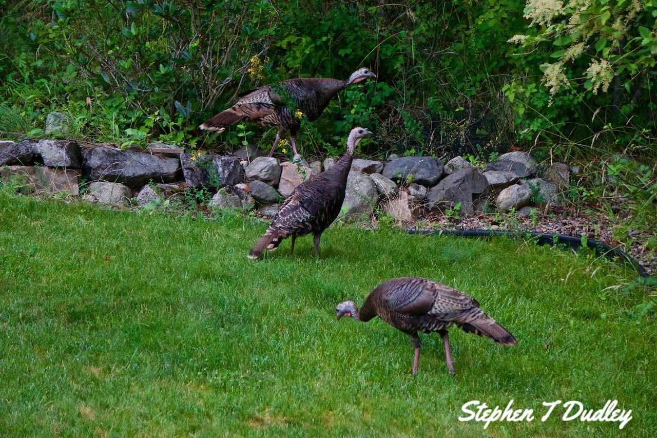 Backyard Turkeys 2