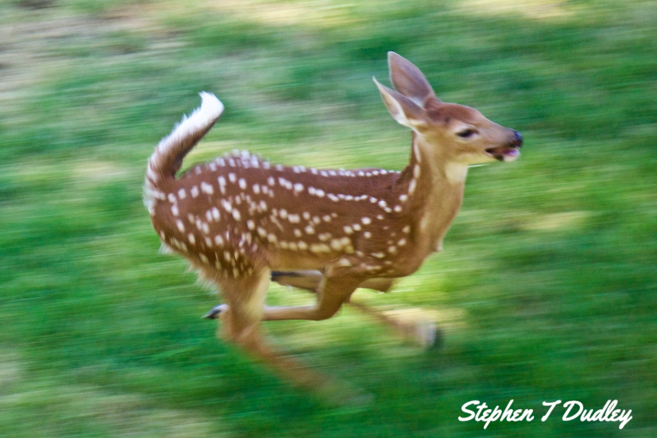 Racing fawn, backyard