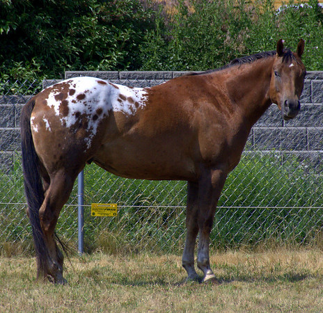 Appaloosa with spotted rump.
