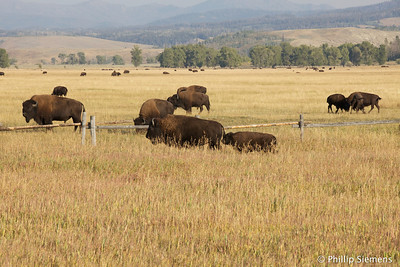 Bison herd near Elk Ranch