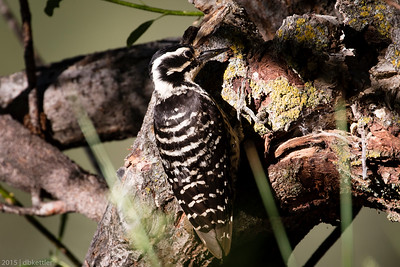 Nuttall's Woodpecker - Female
