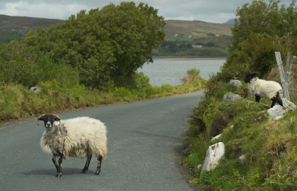 This mama sheep was minding her own business, taking a stroll with her little lamb...