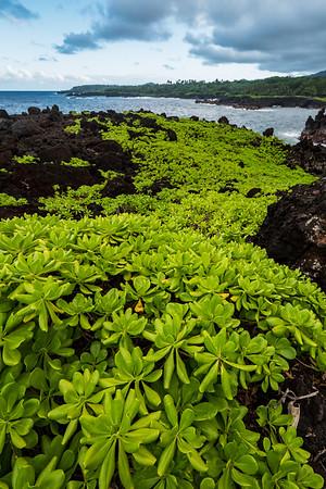 Naupaka plant on Black Lava Rock