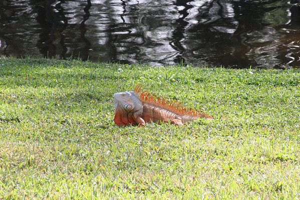 Flying Iguanas in our Backyard December 25th, 2008