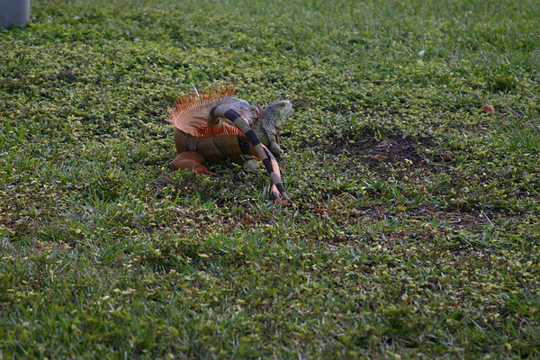<font size = 4><font color = #996633>Jan. 2006 - There's two new amazing big orange iguanas that came to dance in our backyard... and have sex !