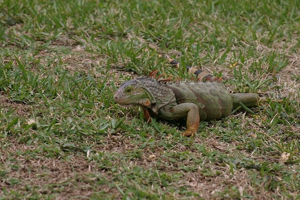 <font size =4><font color =green><i><b>July - 2004 - Iguanas -  in our back yard....