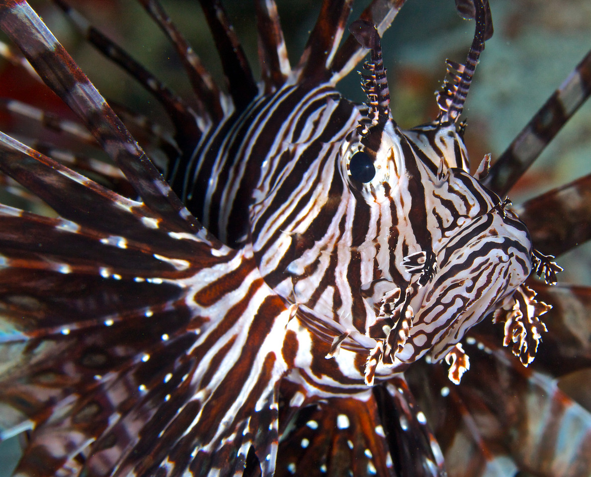 Iionfish