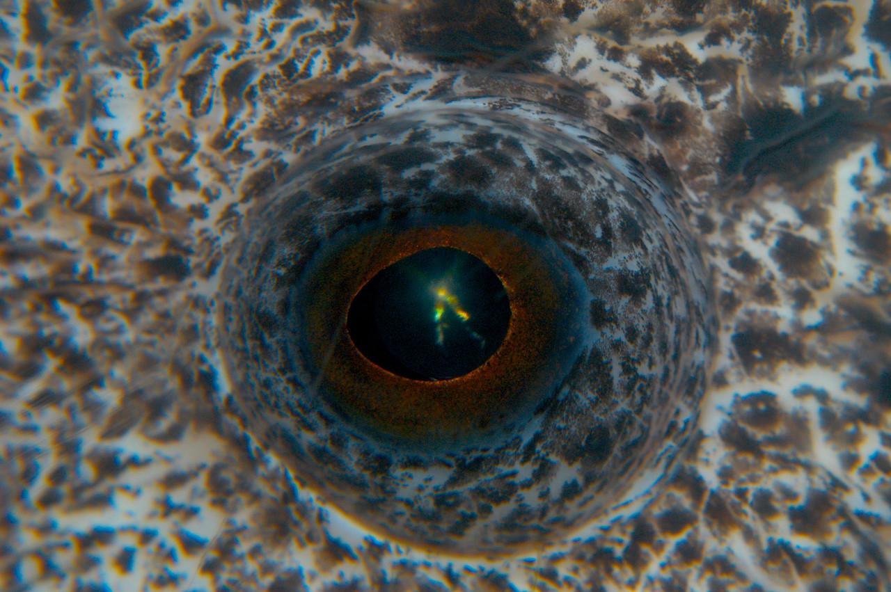 Wolf eel eye