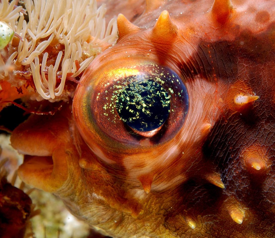 Puffer fish eye