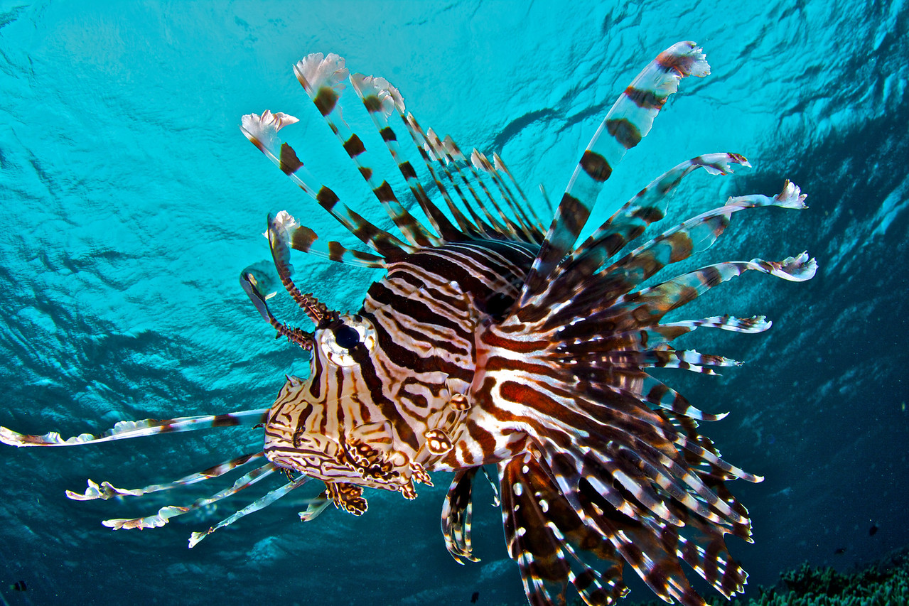 Another Lionfish