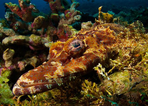 Flathead Crocodile fish