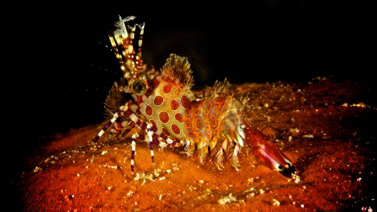 Juvenile Saron or Marbled Shrimp