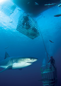 Shark and Cage