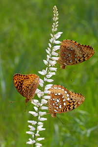 Great spangled fritillaries on colic root