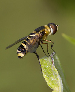 Perched syrphid fly