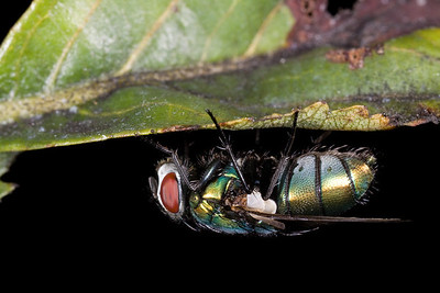 Greenbottle flies are most often associated with animal carcasses.