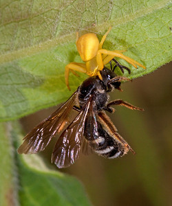 Crab spider enjoys a native bee