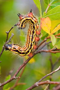 Yellow-neced caterpillars, when disturbed, exhibit this anti-predator behavior, and each caterpillar exudes an unappetizing glob of material from its mouth.