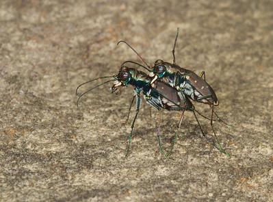 Mating tiger beetles on sandstone ledge