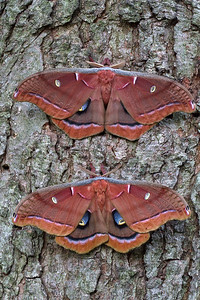 Male and female Polyphemus moths