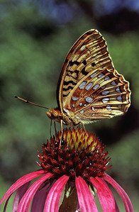 A Great-spangled fritillary nectars on a purple prairie coneflower—photo by Susan Post
