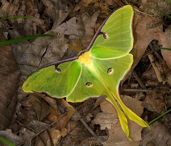 Spring luna moth male