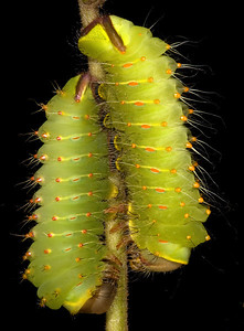 A pair of Polyphemus moth caterpillars.