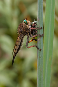 Robber fly with Japanese beetle prey