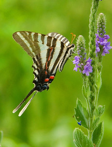 Zebra swallowtail on blue vervain