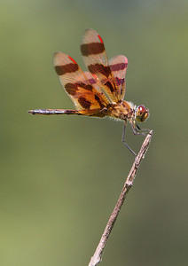 Halloween pennant dragonfly–Sue Post