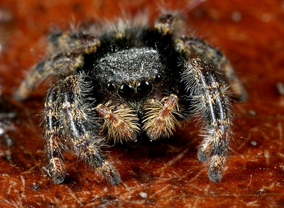 Jumping spiders (Phidippus sp.) are quite engaging when viewed up close and personal.
