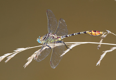 Clubtail (Family Gomphidae) dragonfly