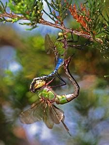 Mating green darner dragonflies.